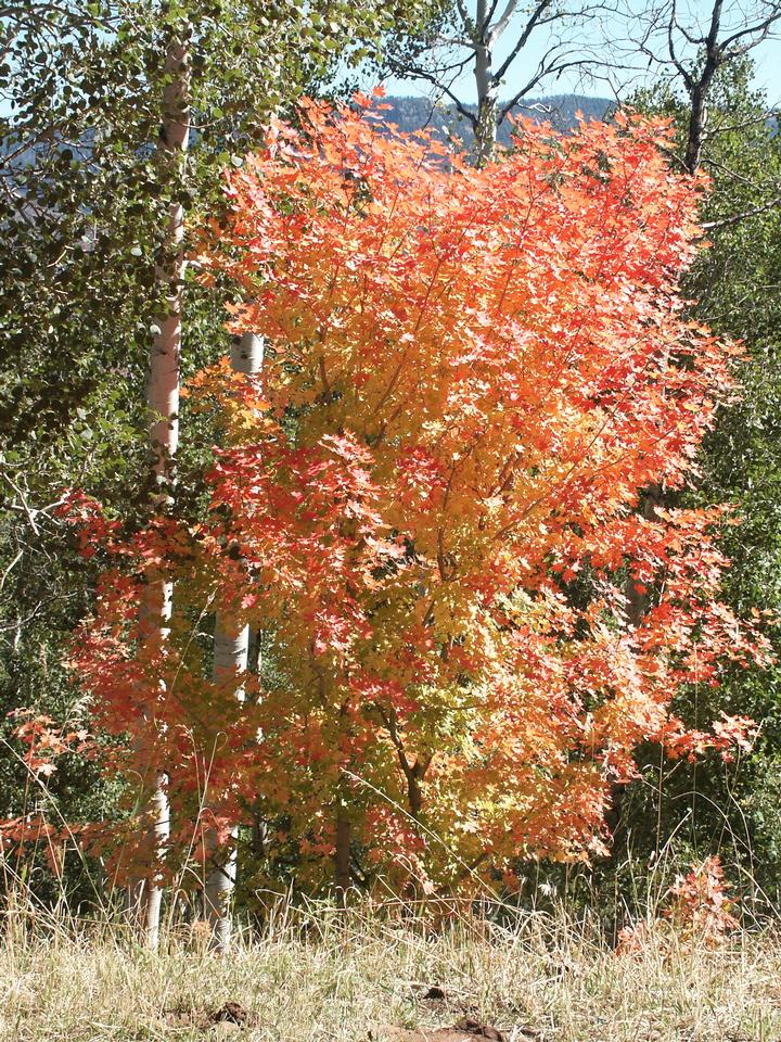 Native Tree, Fall Color