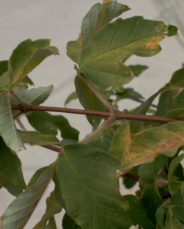 Twig, Leaves