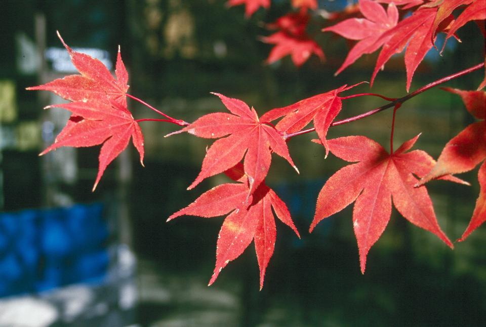 Leaves, Fall Color, 'Bloodgood'