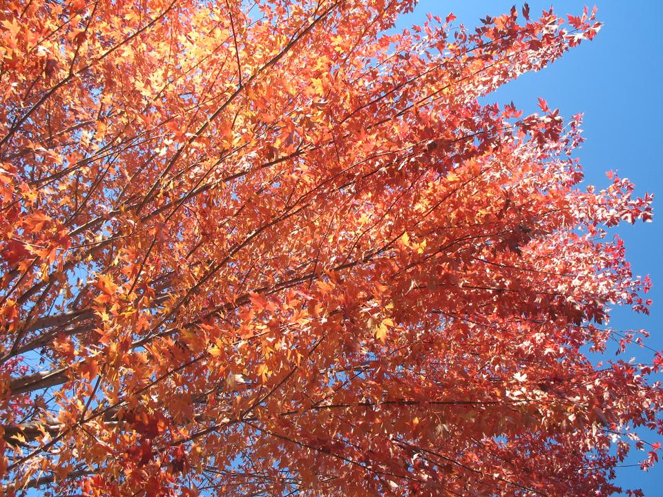 Fall Foliage, 'Autumn Blaze'