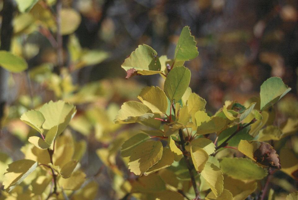 Leaves, Fall Color