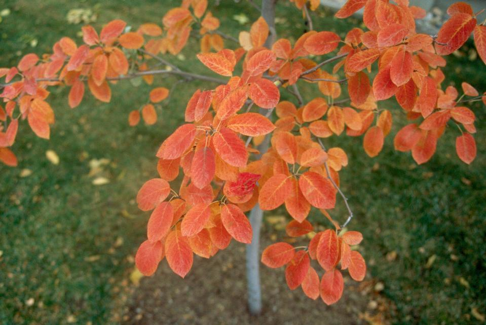 Leaves, Fall Color, x grandiflora Hybrid
