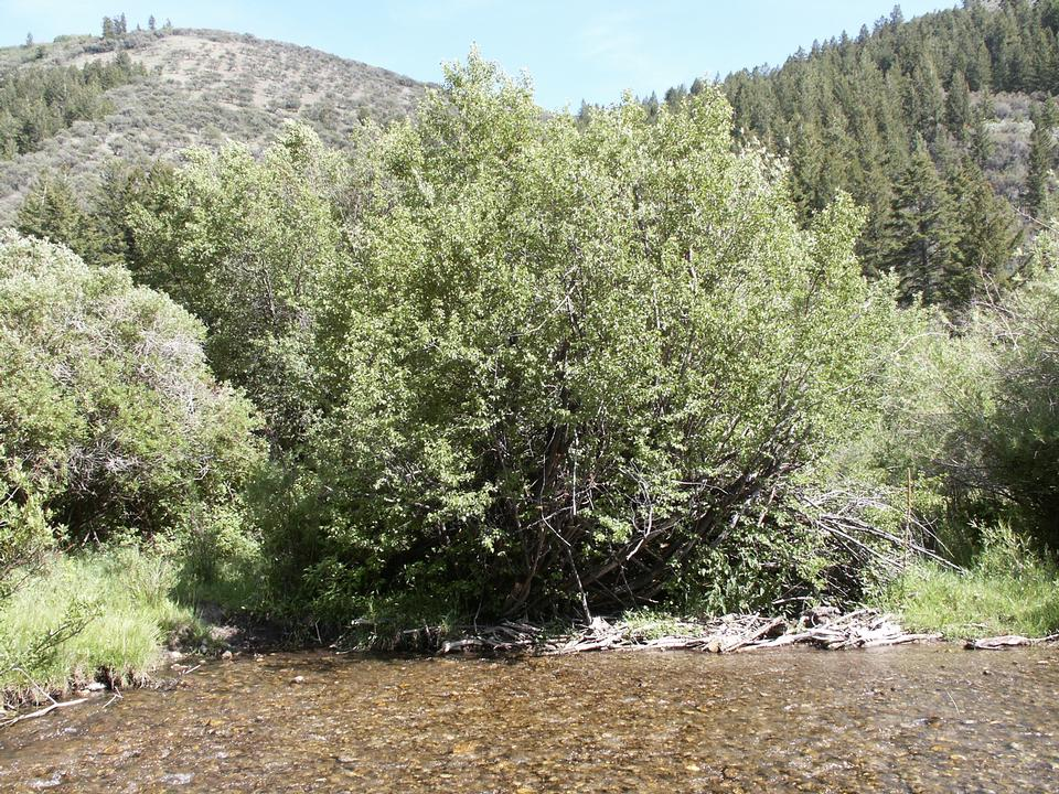 Native Tree, Logan Canyon