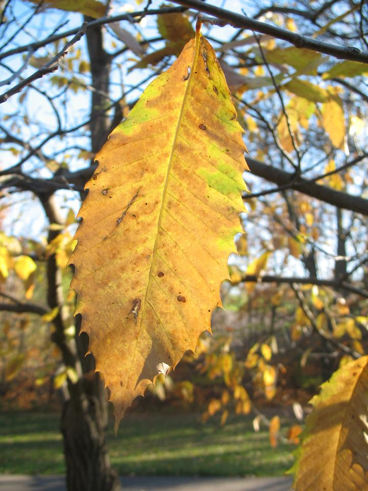 Autumn Leaf, American Chestnut