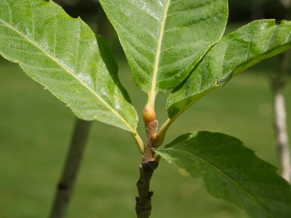 Bud, Leaves