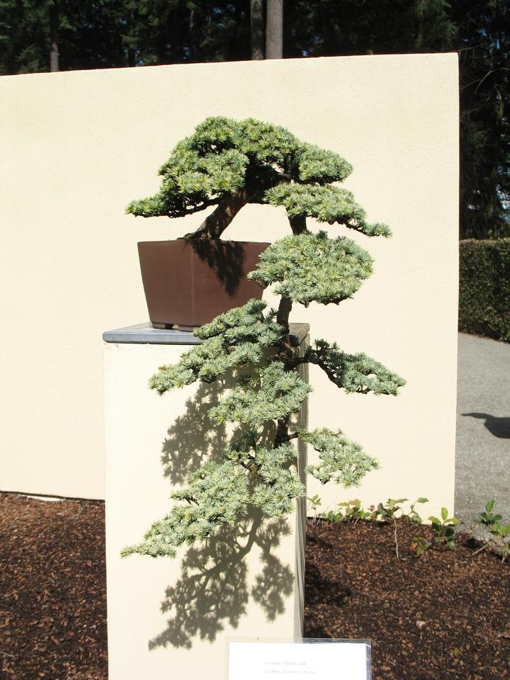 Bonsai, 'Aurea'