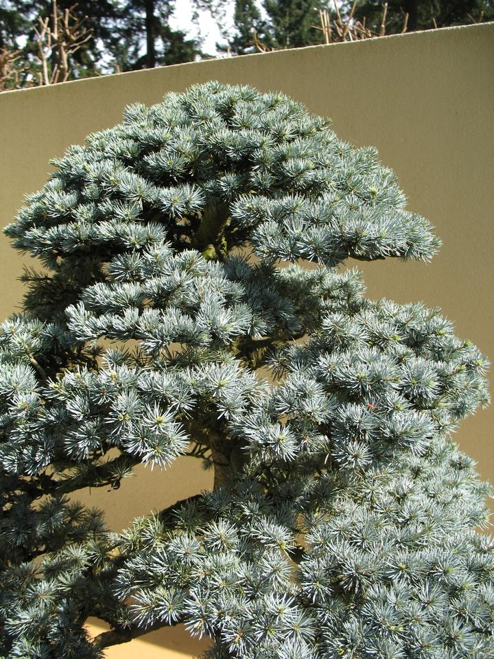 Bonsai, 'Glauca'