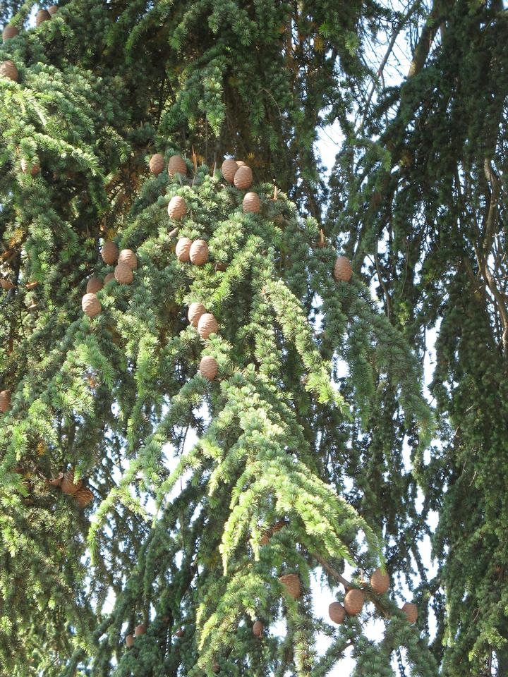 Foliage & Cones, Seattle