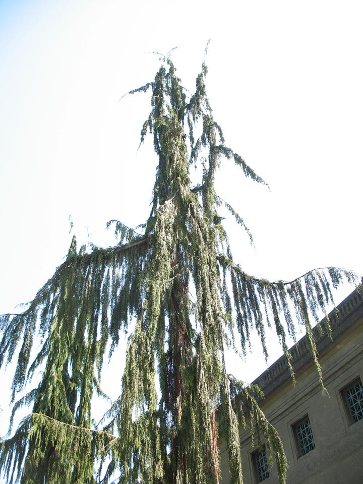 Crown, 'Pendula'