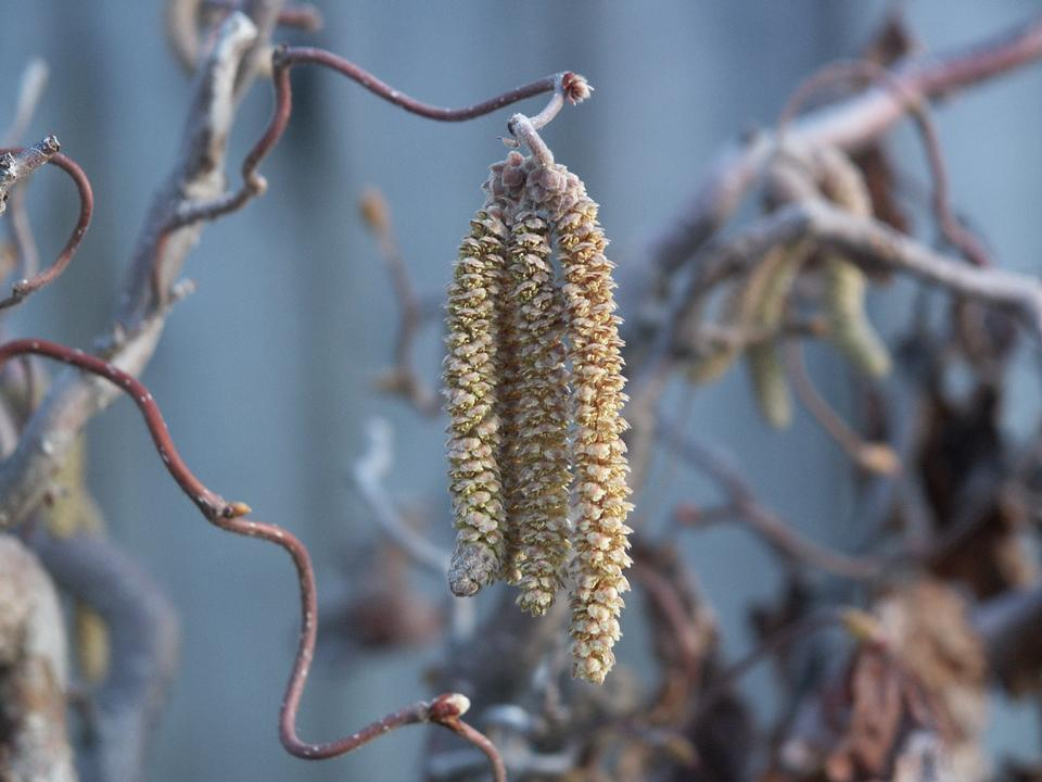 Male Catkins, 'Contorta'