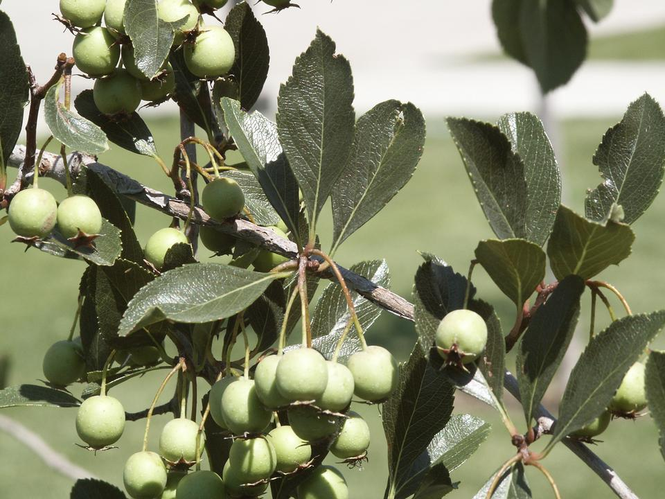 Leaves, Immature Fruit, var. inermis