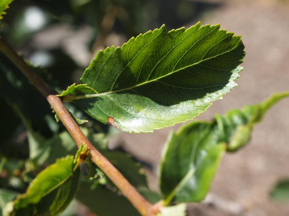 Leaf and Twig, var. inermis
