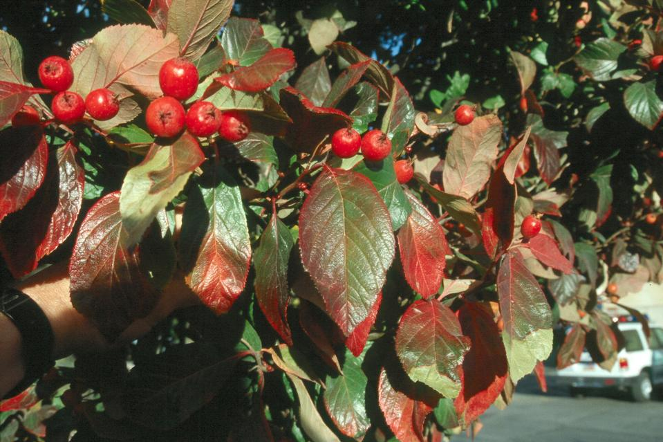 Fall Leaves, Fruit