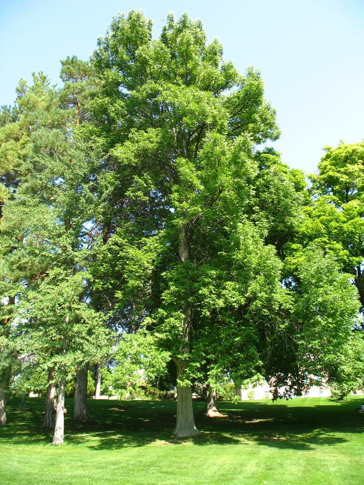 Summer Crown, State Champion Big Tree