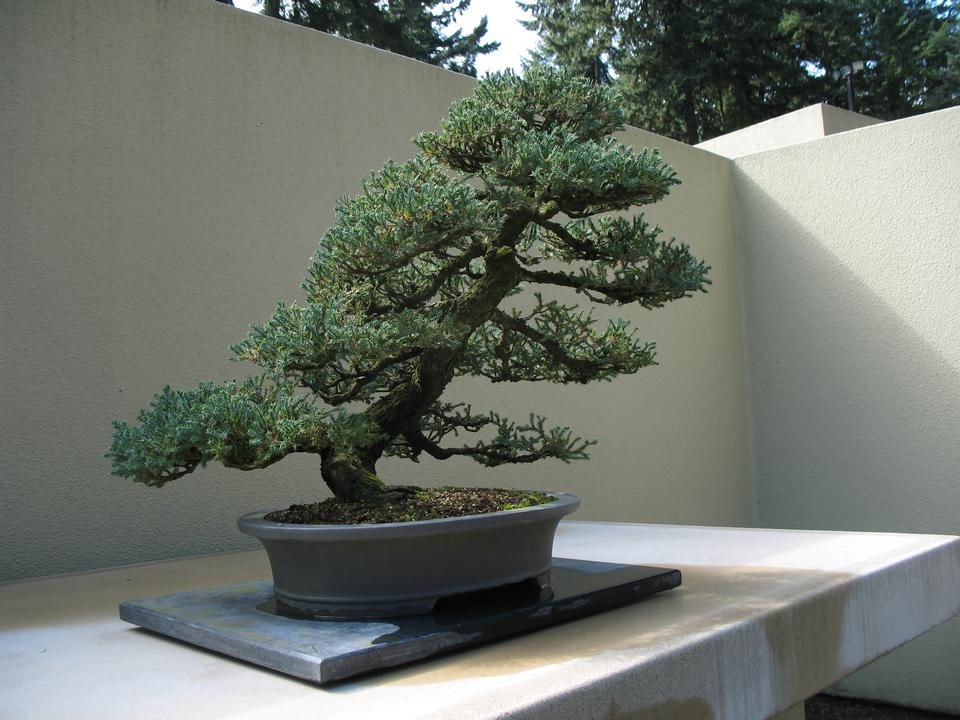 Bonsai, 'San Jose'