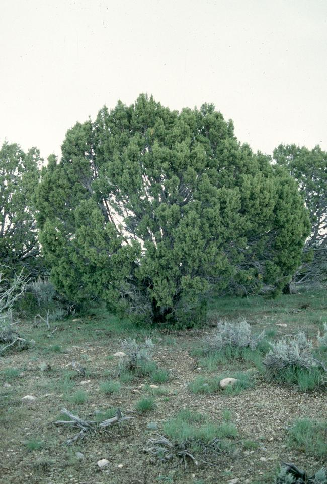 Native Tree