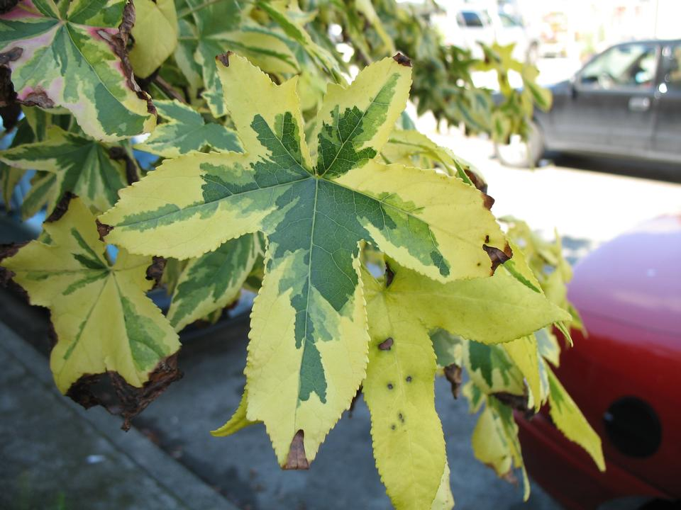 Leaves, 'Variegata'