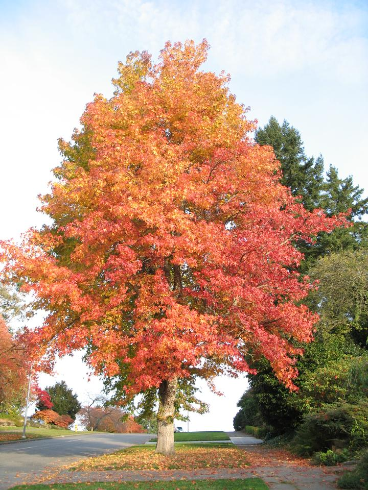 Crown, Fall Color