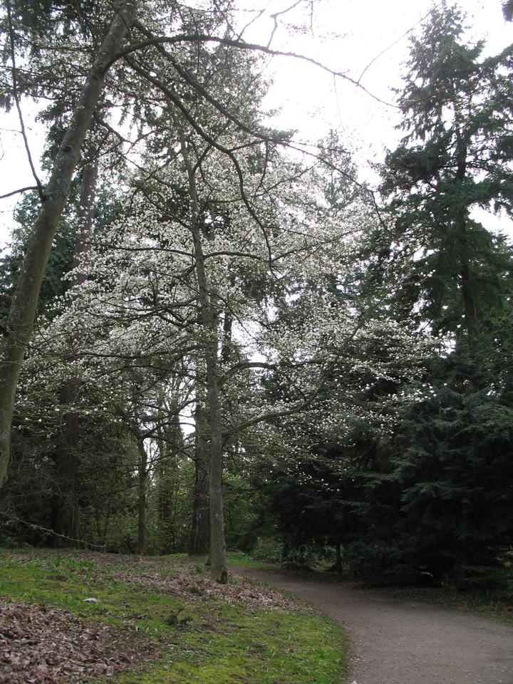 Crown, Flowering, Early Spring