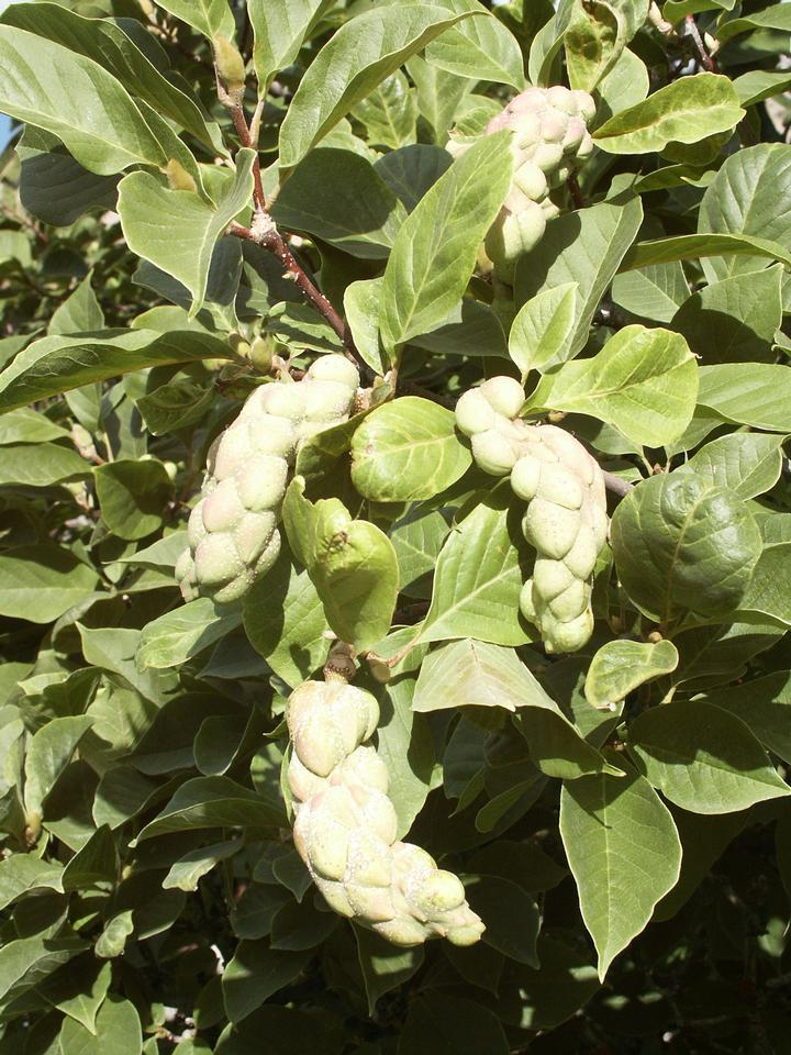 Fruit, Leaves