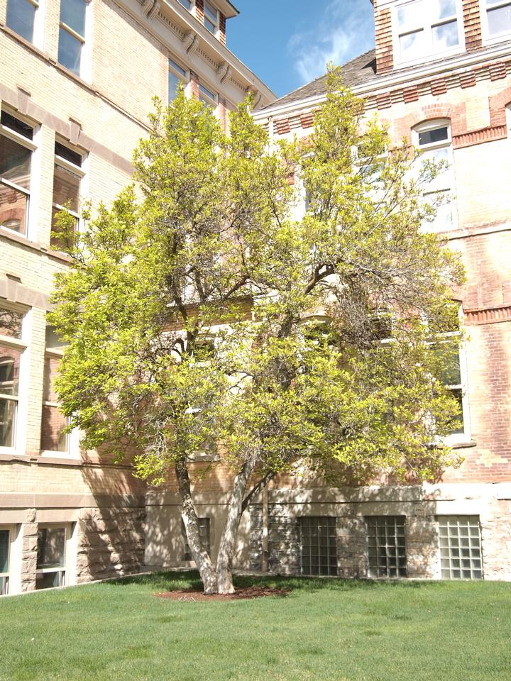 Crown, State Champion Big Tree