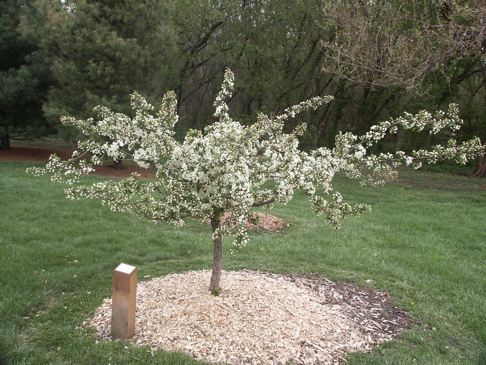 Malus sargentii Crown
