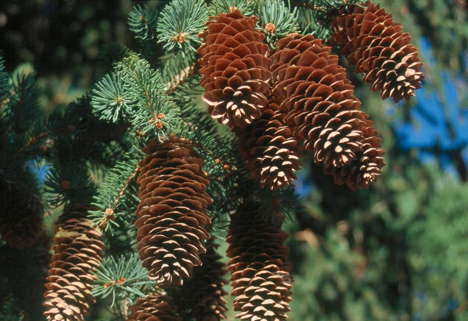 Female Cones