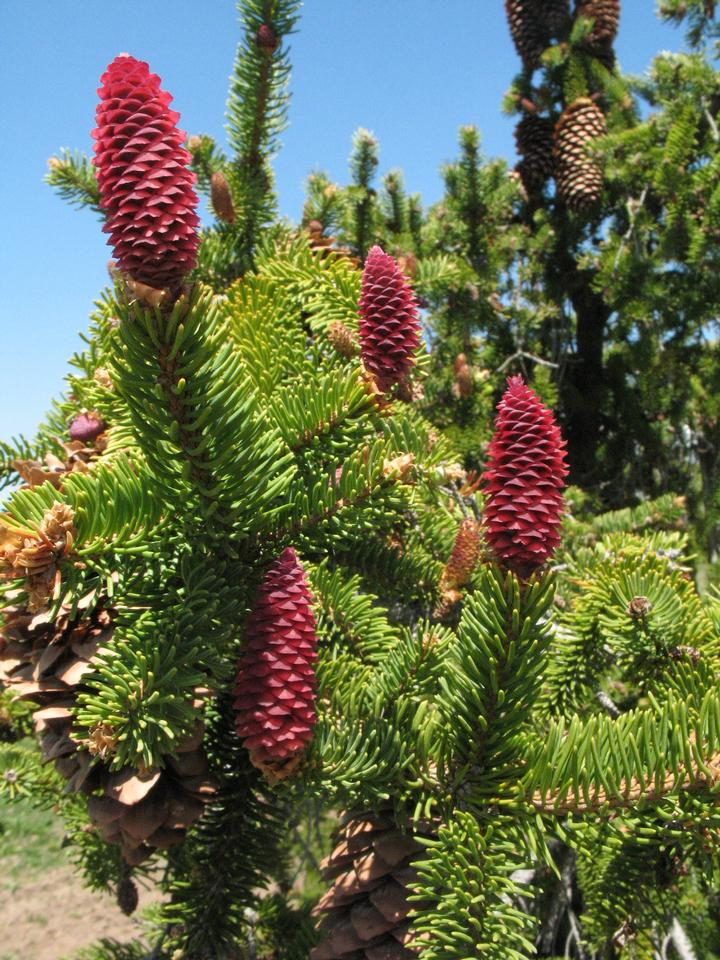 Young Female Cones, 'Pendula'