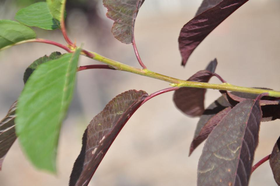 Twig and Leaves, 'Merlot', Utah Bot. Center
