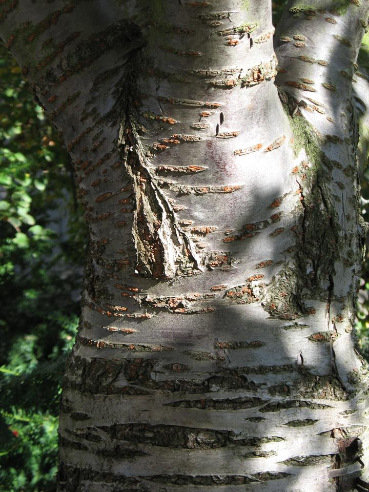 Old Bark, 'Chosu-hisakura'
