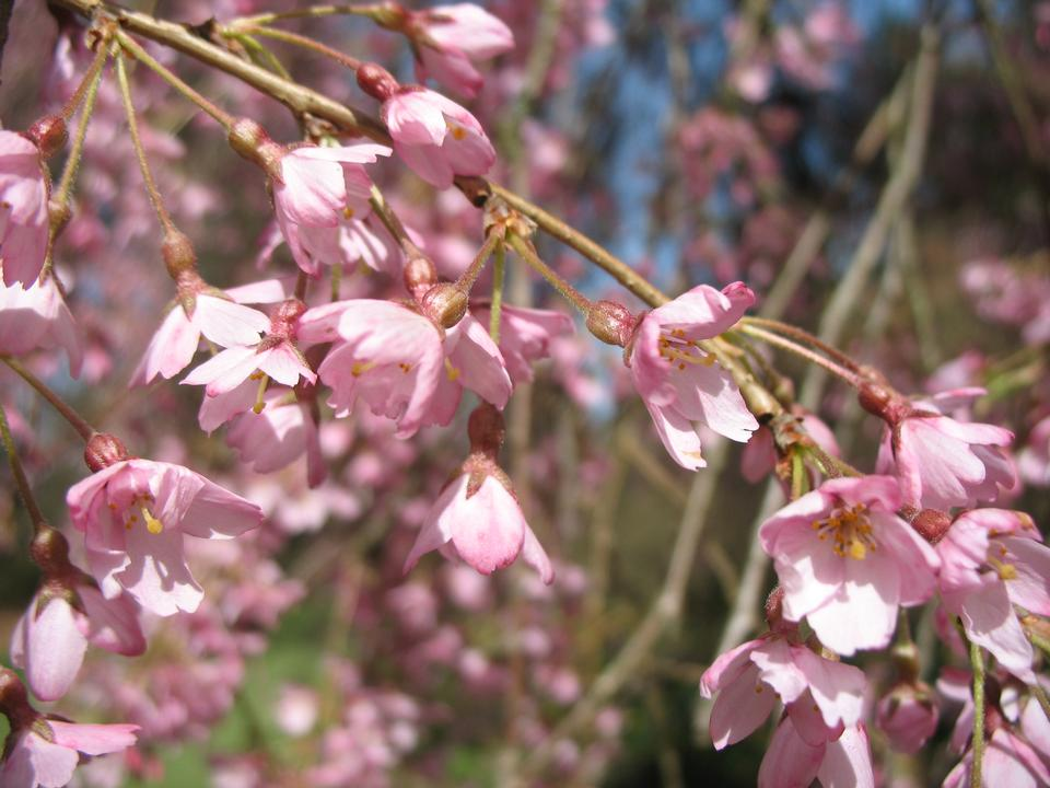 Flowers, 'Eureka Weeping'