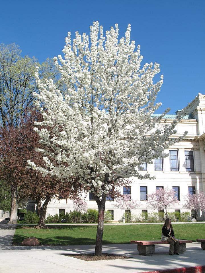Crown in Bloom, 'Bradford', UofU