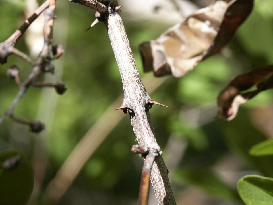 Twig, Spines
