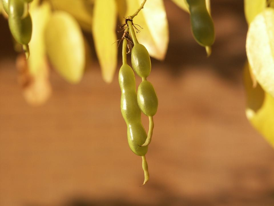 Immature Fruit (Legumes)