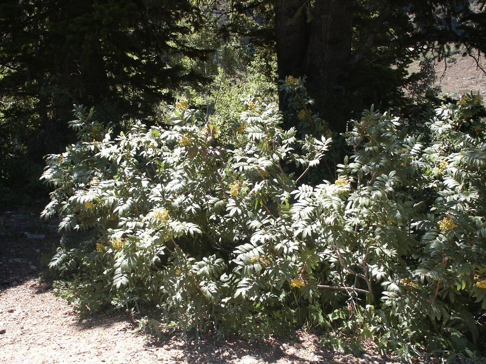 Shrubby Native Crown