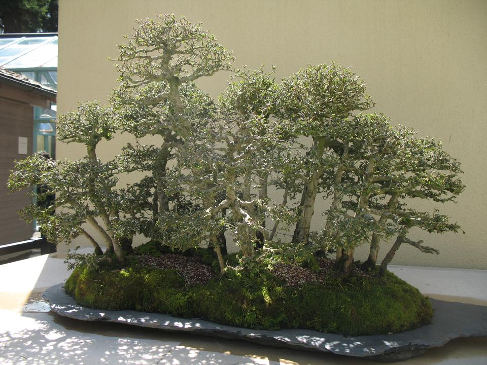 Bonsai, 'Catlin'