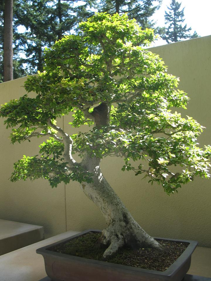 Bonsai, Weyerhauser Collection
